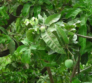 Mango leaves and green fruit