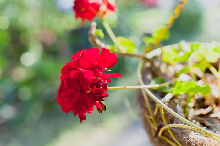 red geraniums  in hanging basket