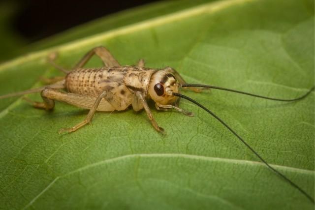 Where-do-crickets-lay-eggs