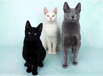 Sejarah Ras Kucing Russian Black