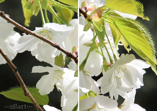 Zweige mit weißen Kirschblüten