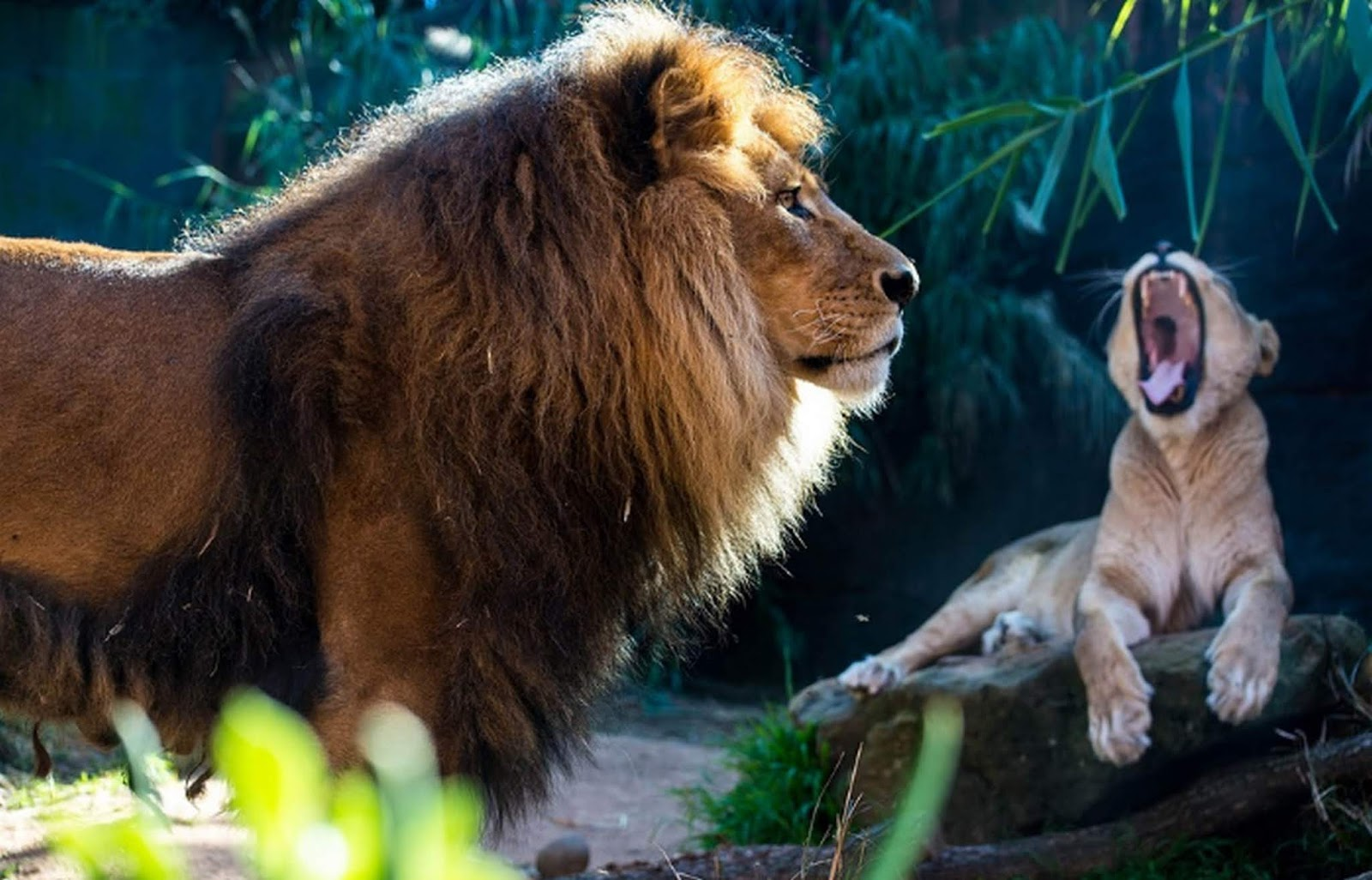 Arti Mimpi Dikejar Singa Jantan dan Betina Tapi Selamat Menurut Islam