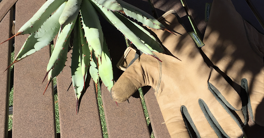 How to plant bare root agaves