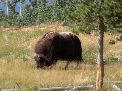 Muskox Is Noted for Its Thick Coat and for The Strong Odor