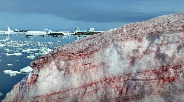 Το χιόνι βάφτηκε κόκκινο στην Ανταρκτική