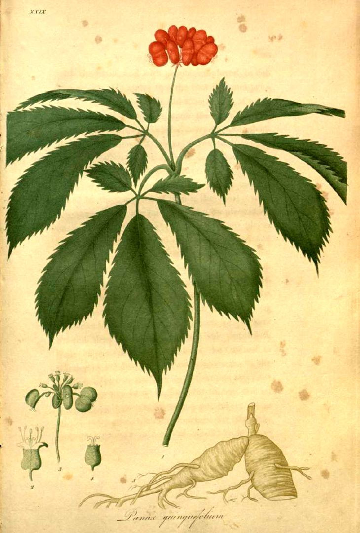 American ginseng illustration