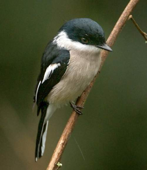 Indian birds - Picture of Bar-winged flycatcher-shrike - Hemipus picatus