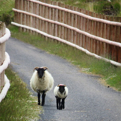 Sheep along the Great Western Greenway in County Mayo, Ireland