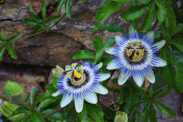 Popular Herbal Medicines- Passionflower