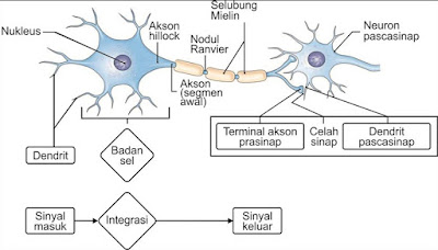 Neuron dan bagian-bagiannya
