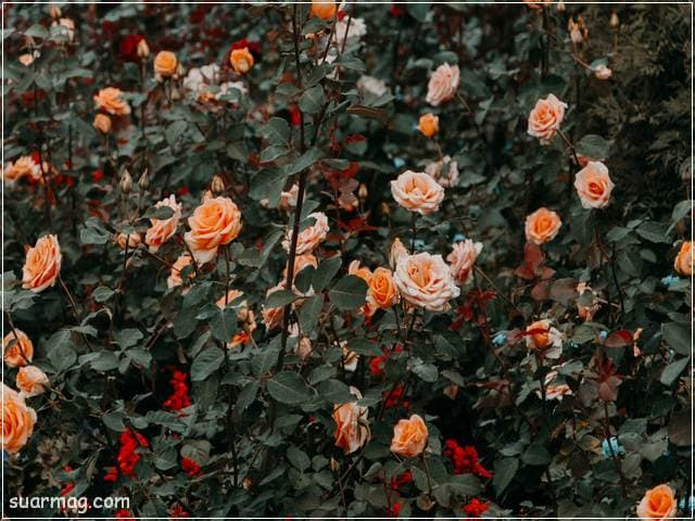 خلفيات ورود جميلة جدا 6 | Beautiful Roses Wallpapers 6
