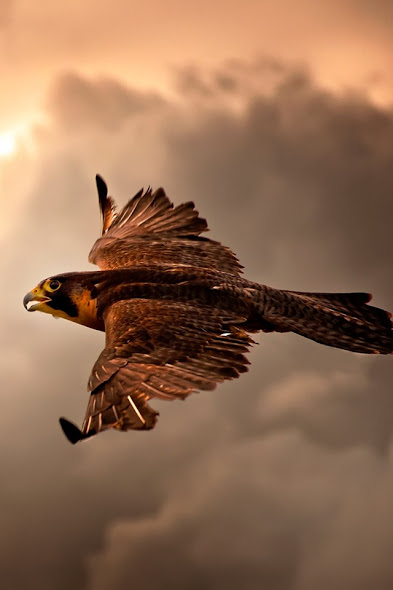 Falcon download free wallpaper for Apple iPhone 4