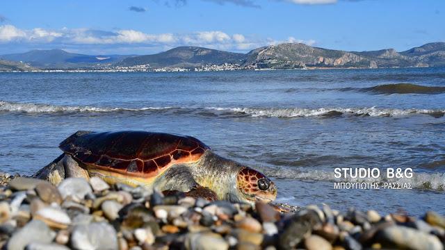 Νεκρή θαλάσσια χελώνα στη Ν.Κίο Αργολίδας (βίντεο)