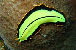 material filum platyhelminthes)