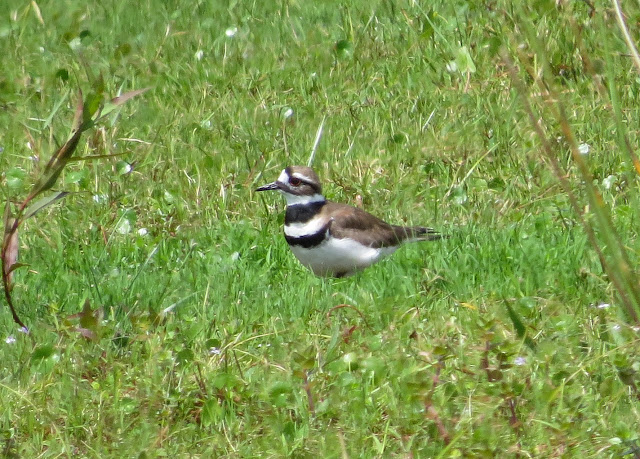 Killdeer - Joe Overstreet Road, Florida