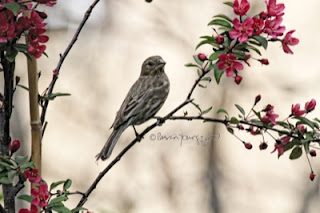 House Finches are featured in Patricia Youngquist's book, Words In Our Beak Volume One, available in Apple's iBook's store and on Amazon.