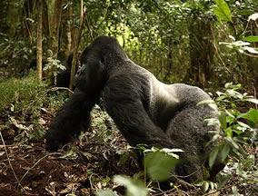 giant silverback gorilla in Bwindi