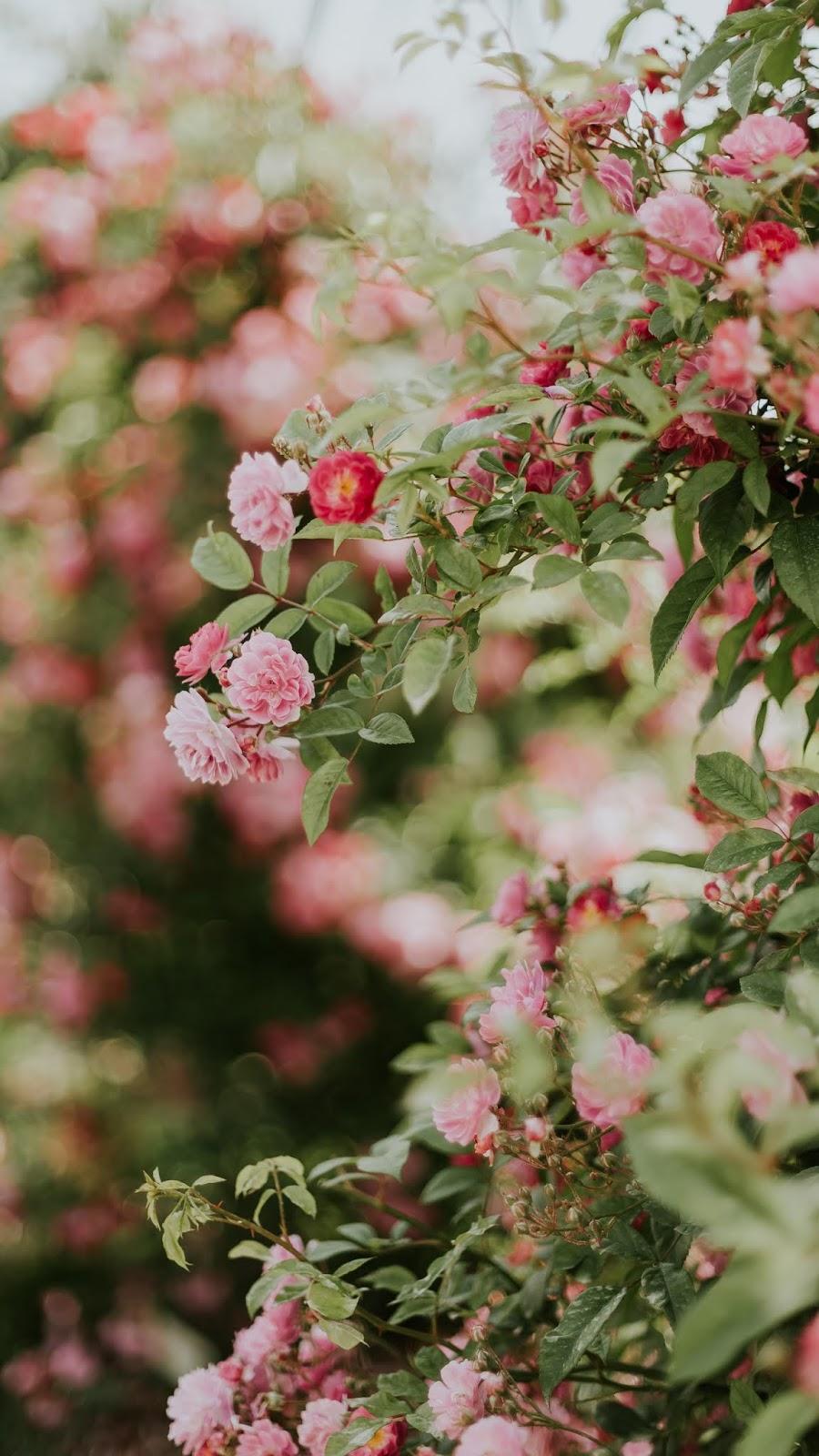 Hoa màu hồng