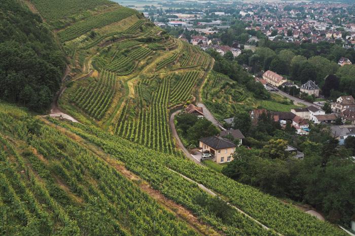 Visite des vignes des domaines de Schlumberger à Guebwiller en Alsace