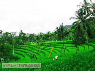 Inilah Foto Pemandangan Sawah Di Bali