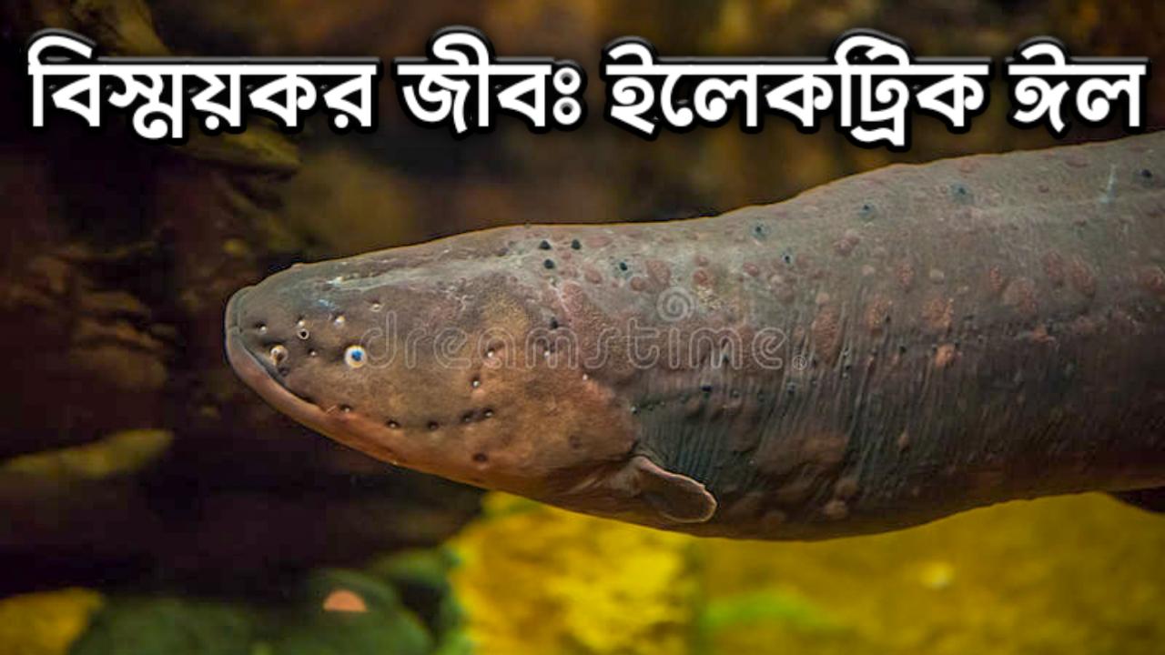 ইলেকট্রিক ইল, ঈল মাছ