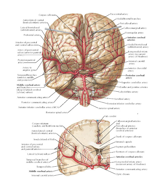 Arteries of Brain: Frontal View and Section Anatomy