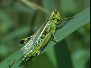 What are locusts? Why are they attacking us?