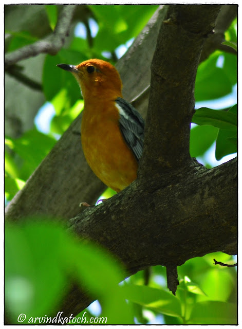 Orange-headed Thrush Face