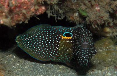 aksesoris akuarium untuk Cupang Laut