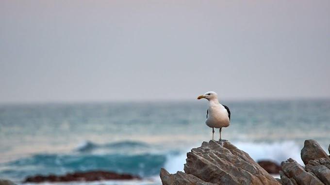 Fotografia, Gaivota, Pássaro, Rocha, Mar
