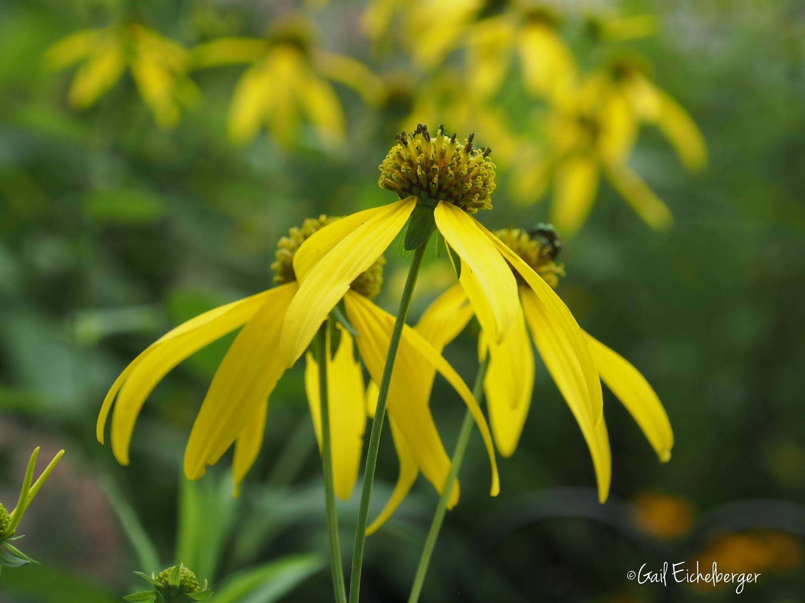 Clay and limestone wildflower wednesday cutleaf coneflower clusters of showy daisy like flower heads top the plant from late july to fall in my garden central southmiddle tennessee zone 6b7a izmirmasajfo
