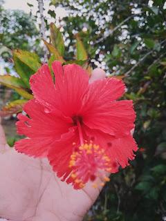 gambar bunga raya