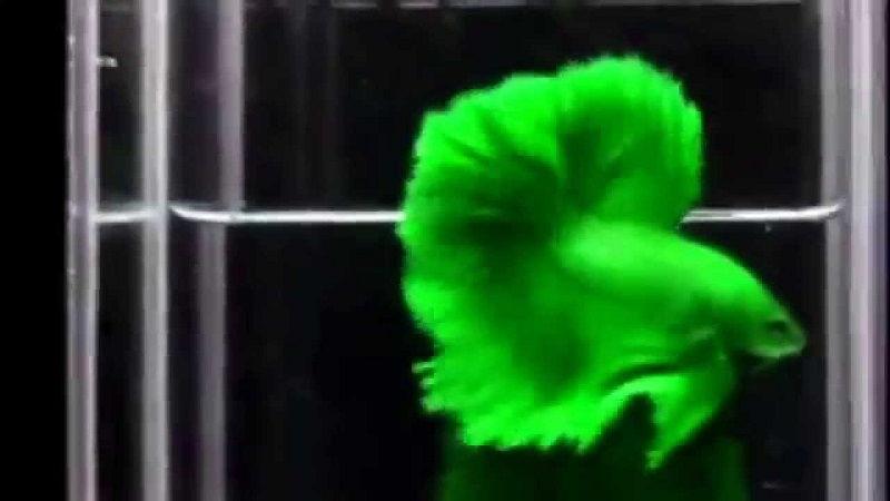 Image Green Betta Fish 1