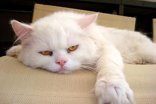6 señales de que tu gato está aburrido