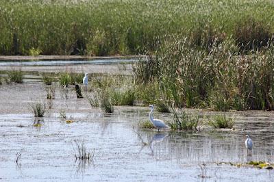 three egrets, Sunrise River pools