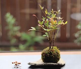 苔玉作品例 石皿にのせたナンテン 山野草盆栽教室 睦草
