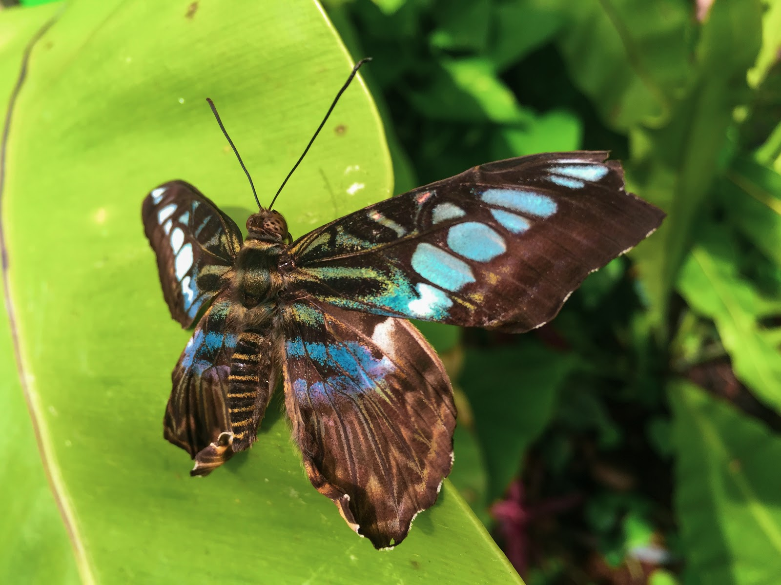 atrium-on-leaf-butterfly-images