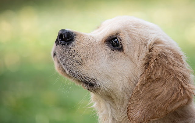 Why Golden Retrievers Are Great Family Dogs