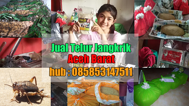 Jual Telur Jangkrik Aceh Barat Hubungi 085853147511