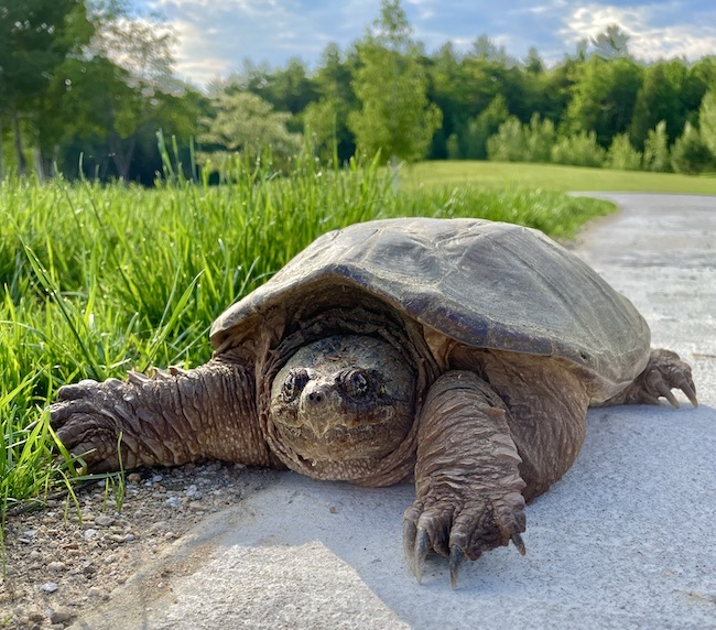 Snapping Turtle at Pieced Pastimes