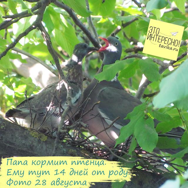 Птенцы витютеня кушают