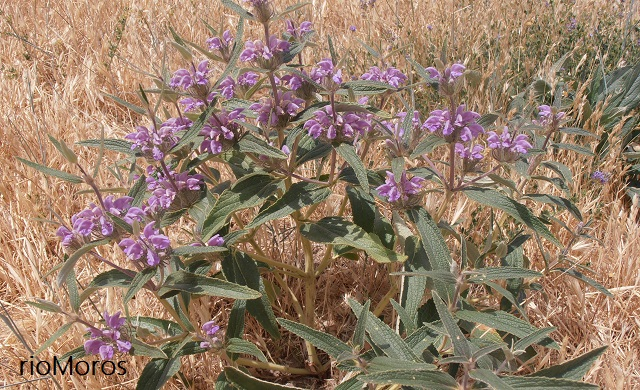 Aguavientos en el campo Phlomis herba venti
