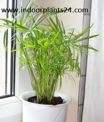 Cyperus Alternifolius Cyperaceae Umbrella Plant IMAGE