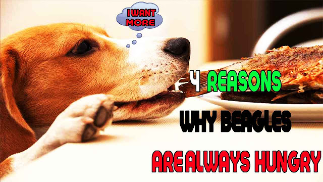 Learn 4 Reasons Why Beagles Are Always Hungry