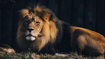 HD wallpaper lion, predator, big cat, wild