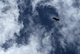 soaring vulture over moody dark blue sky