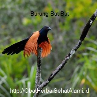 Khasiat manfaat HEBAT Minyak urut burung but but (MBB), minyak ajib serba guna dan alami