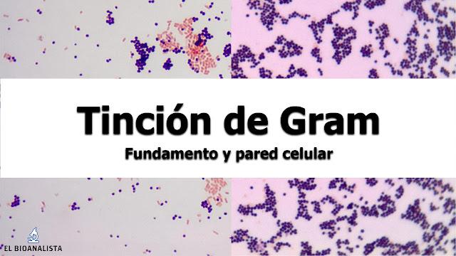 tincion de gram microbiologia