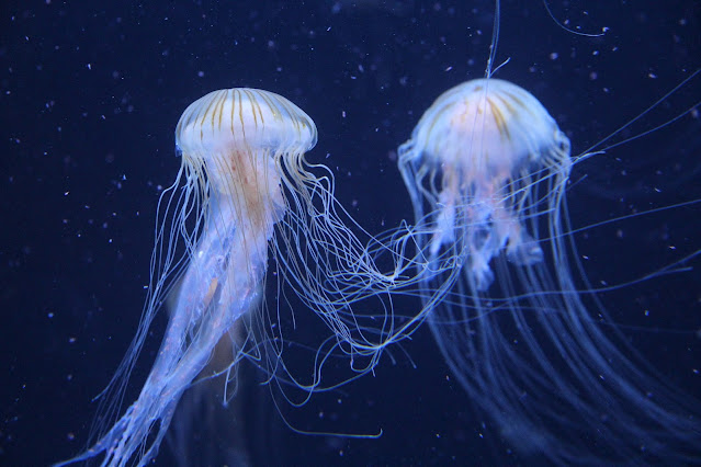 Jellyfish sea