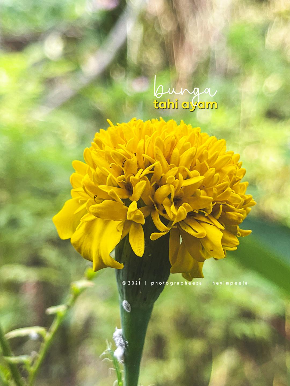 Bunga Tahi Ayam Atau Marigold
